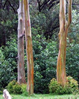 Muda de Eucalipto Arco-Iris - Foto 4