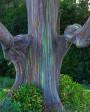 Muda de Eucalipto Arco-Iris - Foto 5