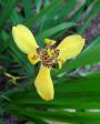 Muda de Iris Amarela - Foto 3