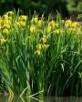 Muda de Iris Amarela - Foto 5