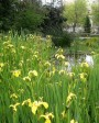 Muda de Iris Amarela - Foto 6