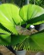 Muda de Palmeira Leque - Foto 1