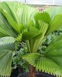 Muda de Palmeira Leque - Foto 3