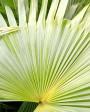 Muda de Palmeira Leque - Foto 4