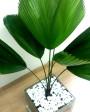 Muda de Palmeira Leque - Foto 5