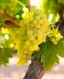 Muda de Uva Moscato Branco - Foto 3