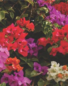 Muda de primavera Arbustiva Pink - Foto 1