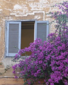 Muda de Primavera Trepadeira Bordô  - Foto 3