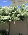 Muda de primavera Trepadeira Branca - Foto 1