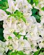 Muda de primavera Trepadeira Branca - Foto 2