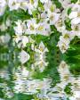 Muda de primavera Trepadeira Branca - Foto 3