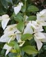 Muda de primavera Trepadeira Branca - Foto 4
