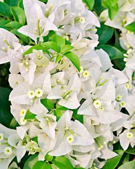 Muda de primavera Trepadeira Branca