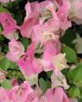 Muda de primavera Trepadeira Lilás - Foto 1