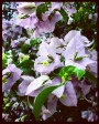 Muda de primavera Trepadeira Lilás - Foto 2