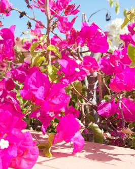 Muda de primavera Trepadeira Pink - Foto 2