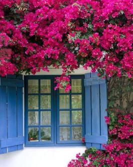 Muda de primavera Trepadeira Pink - Foto 3
