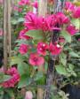 Muda de primavera Trepadeira Pink - Foto 4