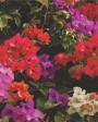 Muda de Primavera Trepadeira Vermelha - Foto 1