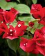 Muda de Primavera Trepadeira Vermelha - Foto 2
