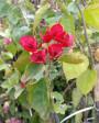 Muda de Primavera Trepadeira Vermelha - Foto 3