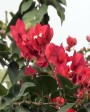 Muda de Primavera Trepadeira Vermelha - Foto 4