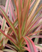 Detalhes do produto Muda de Dracena Tricolor