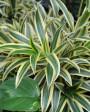 Muda de Pleomelia  - Foto 1