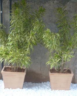 Muda de Pleomelia  - Foto 3