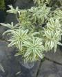 Muda de Pleomelia  - Foto 5