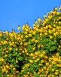 Muda de Sibipiruna - Foto 1