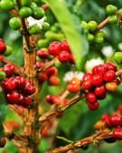 Detalhes do produto Muda de Café