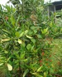 Muda de Pimenta da Jamaica - Foto 1