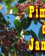 Muda de Pimenta da Jamaica - Foto 2