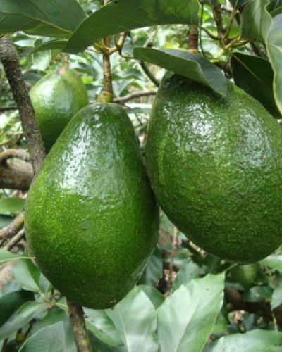 Detalhes do produto Muda de Abacate Enxertado
