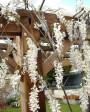 Muda de Glicínia Branca - Foto 5