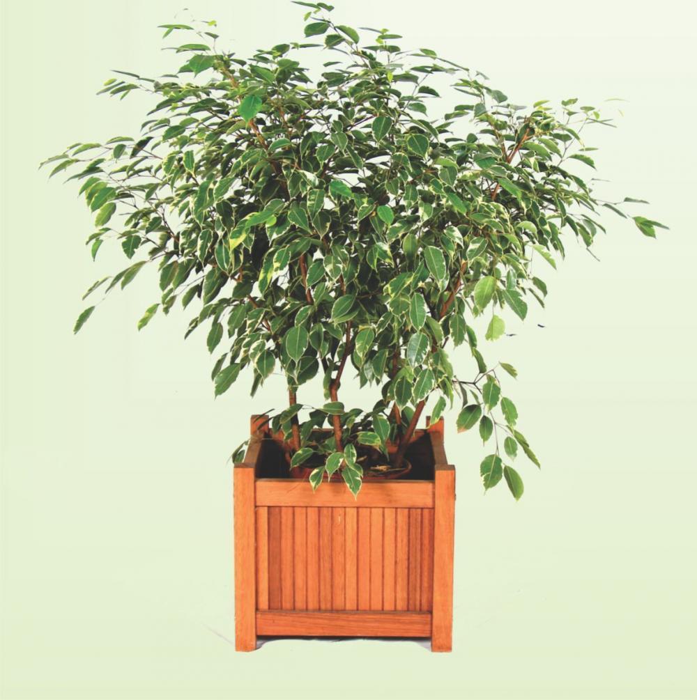 Ficus Variegata