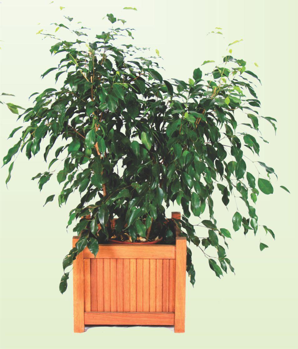 Ficus Verde