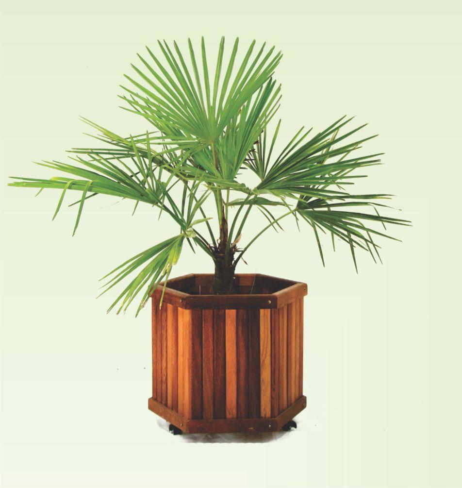 Palmeira Buriti