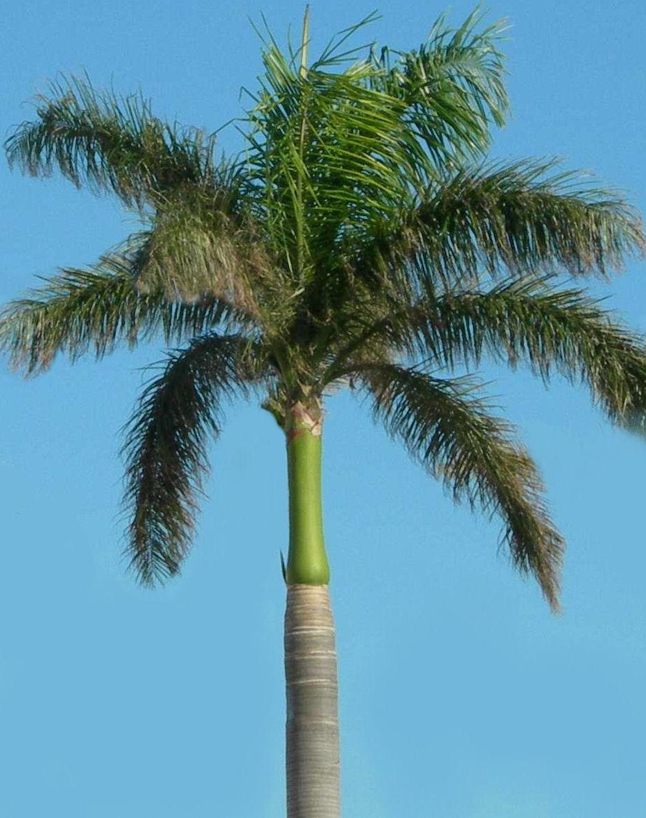 Muda de Palmeira Imperial