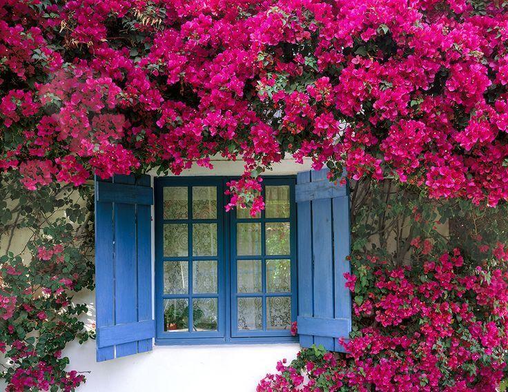 Muda de primavera Trepadeira Pink