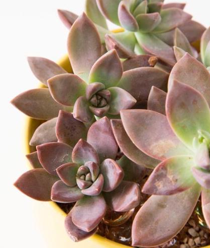 As 7 maneiras mais fácies de propagar suculentas